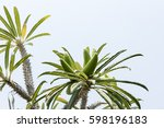 cactus is a popular perennial... | Shutterstock . vector #598196183