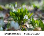 beautiful snowdrop with drops... | Shutterstock . vector #598199600