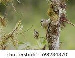woodpecker finch  camarhynchus... | Shutterstock . vector #598234370