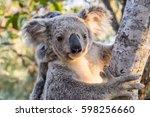 Wild Koala Mother With Baby ...