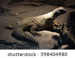 Small photo of Leptien's spiny-tailed lizard