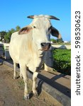 photo of big indian white cow   Shutterstock . vector #598530623
