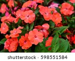Orange Impatiens Flower In The...