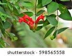 Small photo of Aeschynanthus radicans in the garden