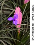 Small photo of Tillandsia cyanea in the vase