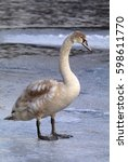Nice Young Swan