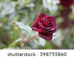 A Blooming Dark Red Rose On...