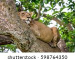 lioness lying on a big tree.... | Shutterstock . vector #598764350