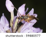 Small photo of Mating tobacco coloured longhorn beetle, Alosterna tabacicolor
