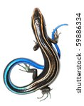 blue tail skink lizard isolated on white background - stock photo