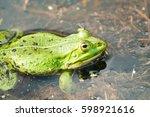frog pelophylax ridibundus | Shutterstock . vector #598921616