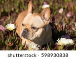 Young French Bulldog In Sea Fi...