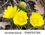 Small photo of Spring flowers, adonis against the background of dry oak leaves, medicinal plant
