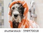 Wet Poodle Dog After A Bath...