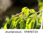 "a preying mantis ""mantis... | Shutterstock . vector #59898724"