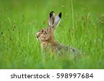 European Hare  Lepus Europaeus...