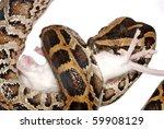 Burmese Python Eat Rat Isolated