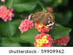 Common Buckeye Butterfly ...