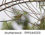 Arctic Warbler  Phylloscopus...