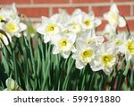 White Narcissus Flowers...
