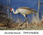 Sandhill Crane (Grus canadensis) foraging next to a lake - Kensington Metropark, Michigan