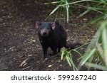 Small photo of Tasmanian devil
