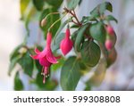 Some Flowers Of Pink Fuchsia ...