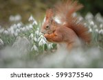 An Adorable Red Squirrel Poses...