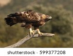 The Golden Eagle  Aquila...