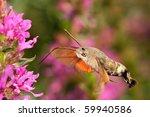 Hummingbird Hawk Moth Hovering...