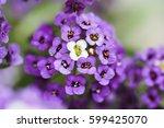 Purple Dwarf Alyssum