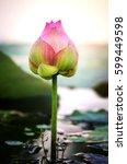beautiful pink lotus flower or... | Shutterstock . vector #599449598