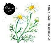 hand drawn watercolor chamomile ... | Shutterstock . vector #599467889