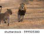 A Male Lion Chases His Female...
