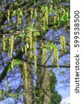 Small photo of Alder with catkins and cones in the forest