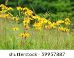 Small photo of Alpine arnica close up in Carpathians, flower growth on 1600 m above-sea level. Selective focus.