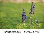 blue lupine flower background. | Shutterstock . vector #599635748