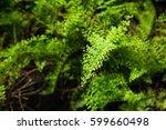 Tropical Plants  Nephrolepis...