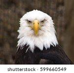 Male Bald Eagle A North...