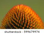Close Up Of Echinacea Purpurea...