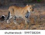 Beautiful Leopard In Masai Mar...