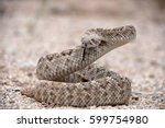 Diamondback Rattlesnake On The...