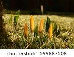Four Yellow Crocus In Grass...