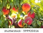 Ripe Tasty Peach On Tree In...