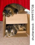 Two Main Coon Cats Turn A Plai...
