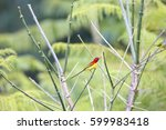 Small photo of Mrs. Gould's sunbird (Aethopyga gouldiae) in Vietnam