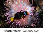 Sea Anemone In Acquarium