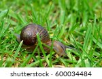 Common Garden Snail On A...