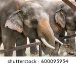 Multiple Indian Elephants ...