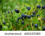 Wild Blueberry In Russian...